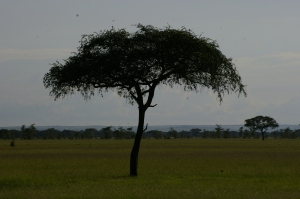 One Lone Tree in the Serengeti